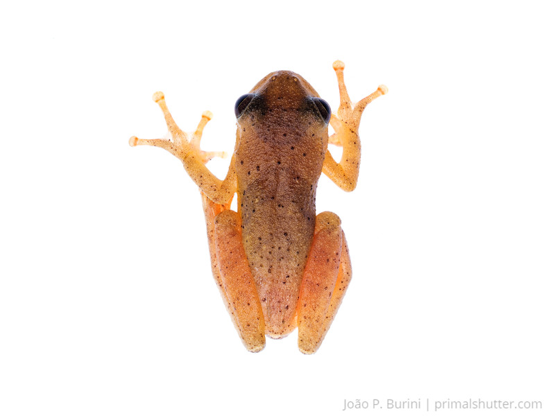 Treefrog (Dendropsophus sp.) Tapiraí, São Paulo, Brazil Atlantic forest (rainforest strictu sensu) August 2015