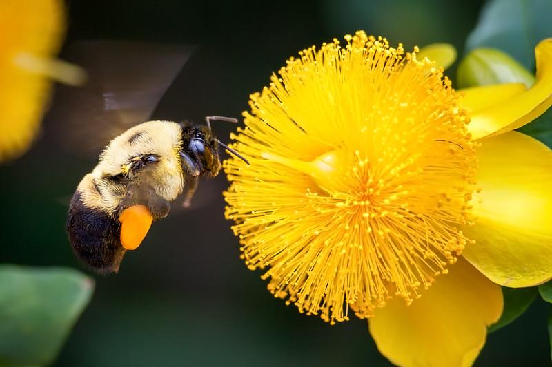 bee, yellow flower, flower