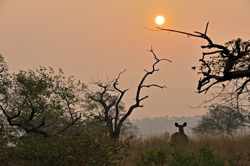 Deer in the jungles of Ranthambhore national park at sunrise