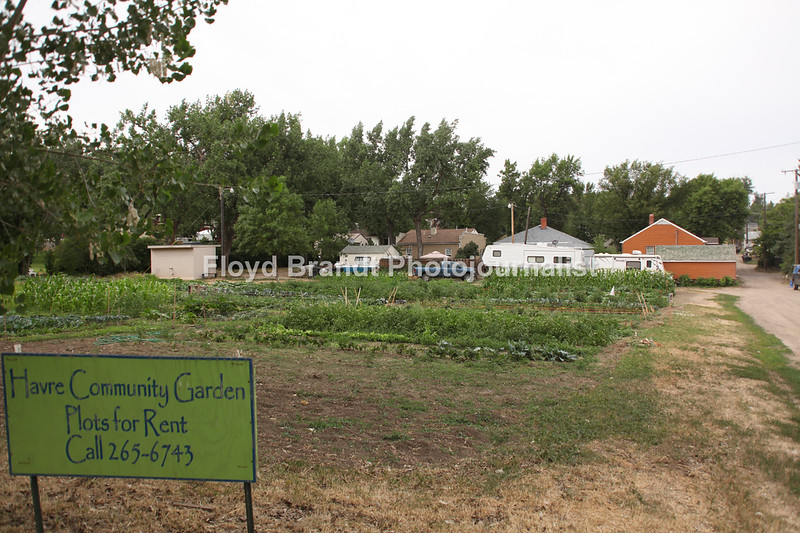 Havre Daily News / Floyd Brandt  In full growth Havre Community Garden has open space that can be planted and is in one of it's best years Monday