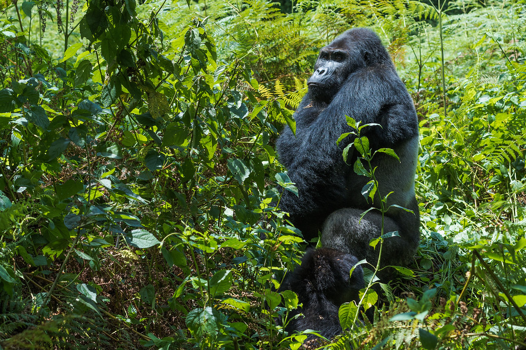 Mountain gorillas in the Congo: Gorillas in the wild