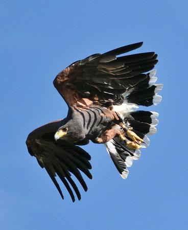 West Coast Falconry