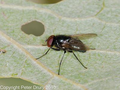 Hydrotaea capensis
