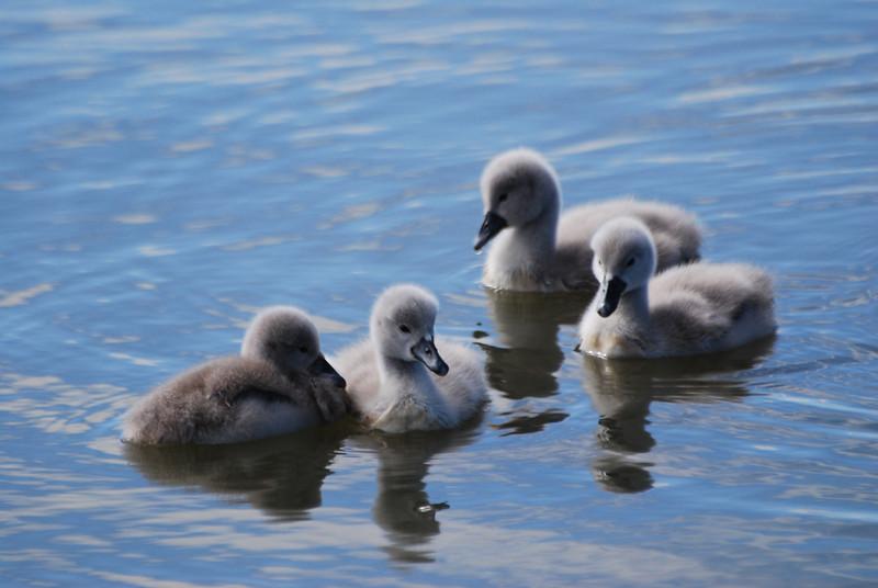 Swan Babies (2).JPG