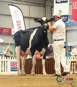 IDW Holstein Intermediate Cow Show 2017
