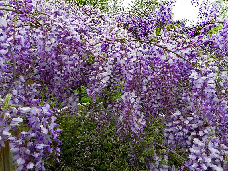 2011/5/15 – This is Lisa's very favorite of flowering shrubs in full bloom. It is Wisteria and grows in one of our neighbors front yards. Lisa always has to stop and smell it when we walk by.