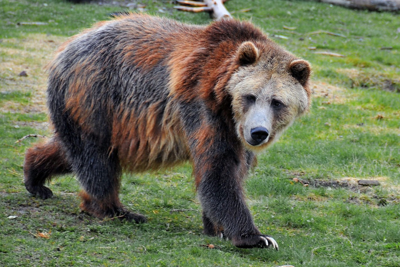Foraging Grizzly.jpg