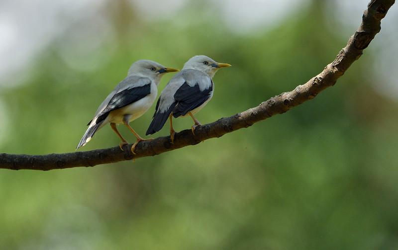 Andaman-white-headed-starlings.jpg