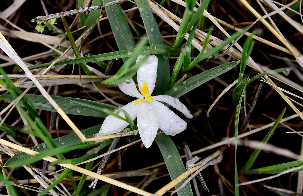. A Sand Lily, Leucocrinum montanum, is seen at the Rocky Flats National Wildlife Refuge in Jefferson County, Colorado on May 14, 2018. (Photo by Matthew Jonas/Staff Photographer)