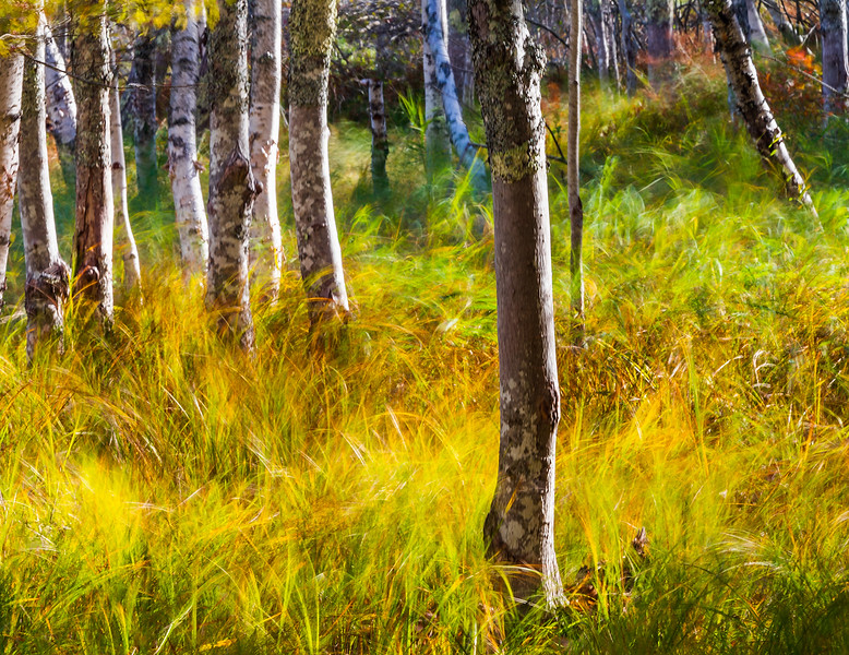 Birch Forest on a Windy Day