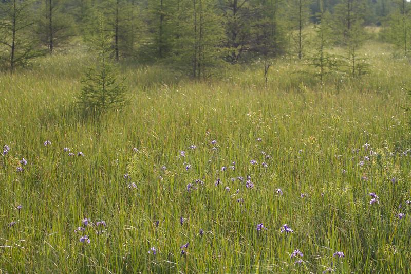 Iris versicolor Wild Iris CR7 Sax-Zim Bog MN IMG_0927.jpg
