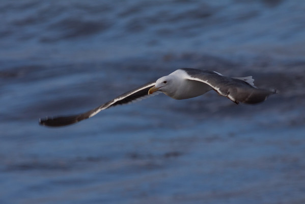 Western Gull Larus occidentalis