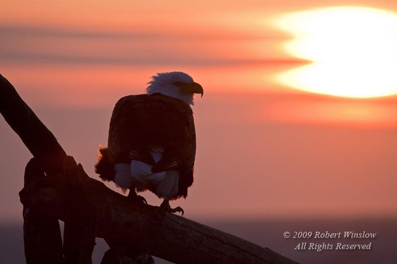Bald Eagle, Haliaeetus leucocephalus, Sunset, Kenai Peninsula, Alaska