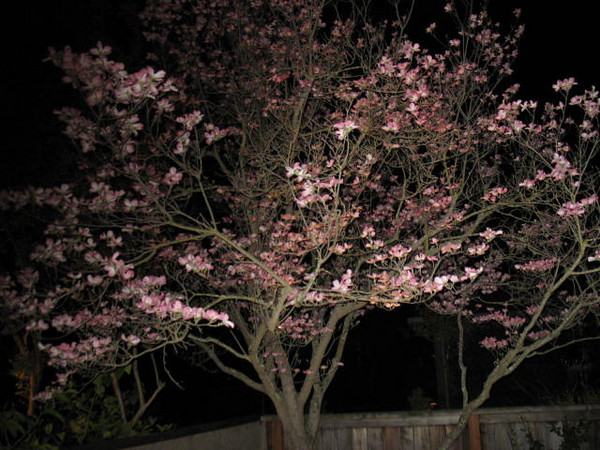 Night time photo of the Dogwood tree illuminated by uplights.