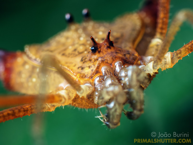 Face of a yellow harvestman
