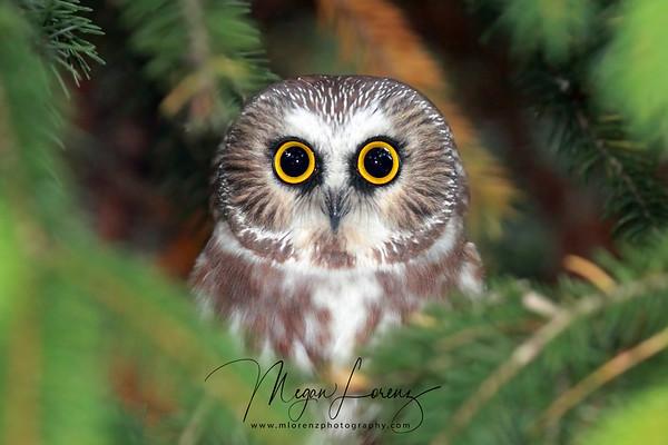 Owls & Raptors