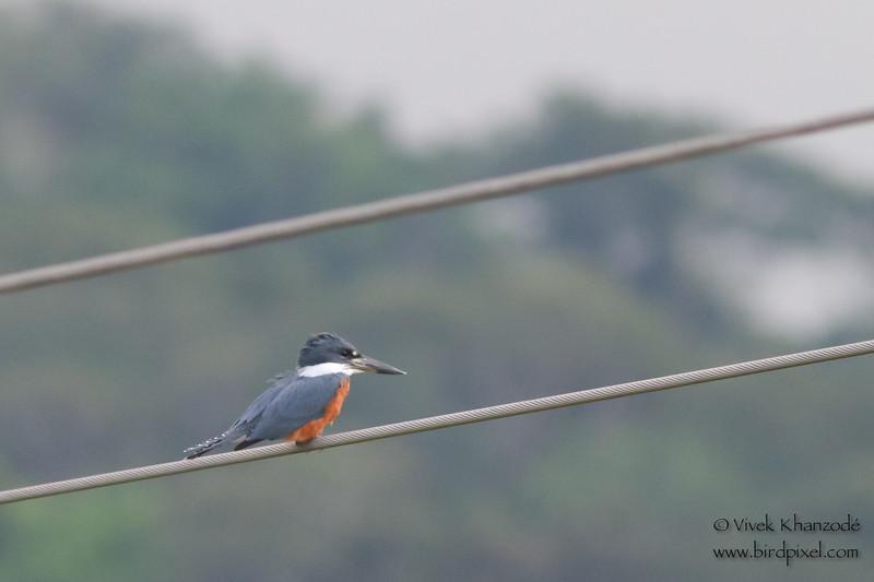 Ringed Kingfisher - Record - Rio Tarcoles, Costa Rica