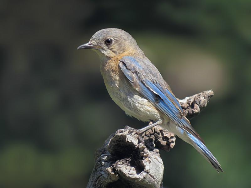 sx50_bluebird_faith_boas_167.jpg