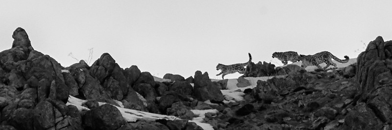 Ladakh & Snow Leopards