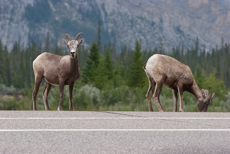 Bighorn Sheep by the Road