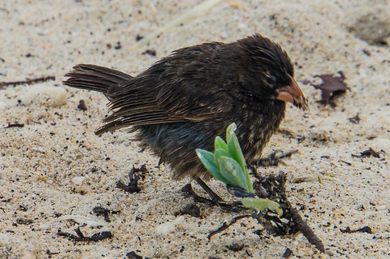 Shard-Beaked Ground Finch