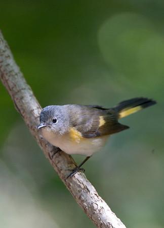 Warbler Favorites