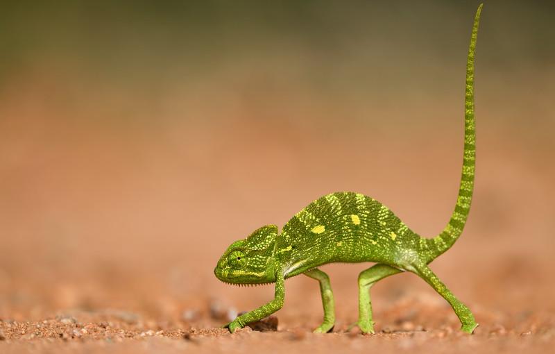 Walk-like-a-chameleon-hampi.jpg
