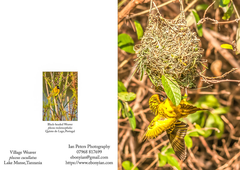 Village Weaver ploceus cucullatus  5  x 7_.jpg