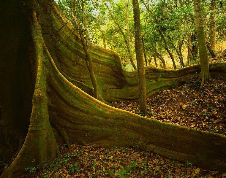 Tamaulipas, Mexico / El Cielo Biosphere Reserve cloud forest, Rio Frio, lined with giant ficus, Ficus sp. with buttressed roots dwarfing other trees in heavy forest canopy.204H6