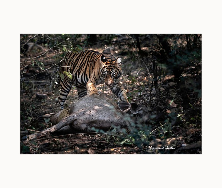 Tiger with his meal