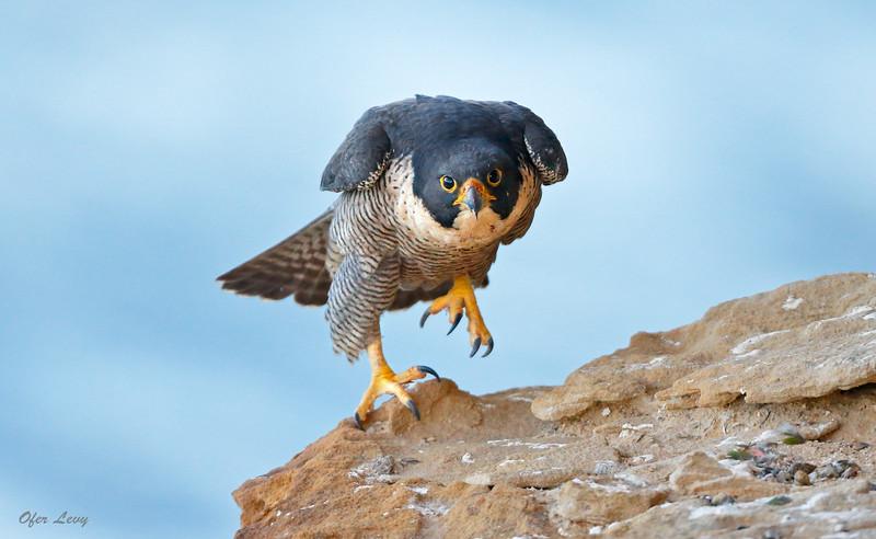 Peregrine Falcon 22.jpg
