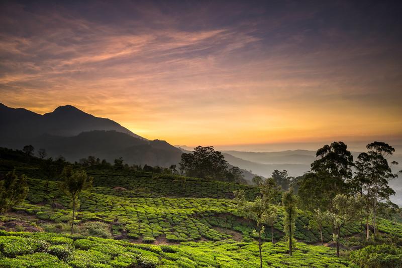 Munnar tea plantation.jpg