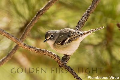 Plumbeous, Vireo, Tucson AZ, USA