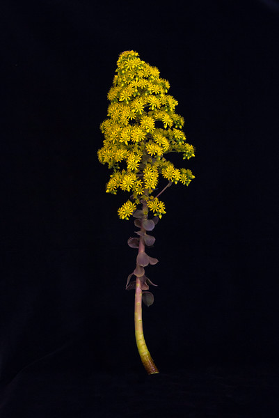 SucculentOnBlack.jpg
