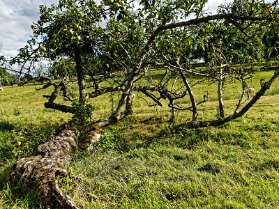 Fallen Apple Tree