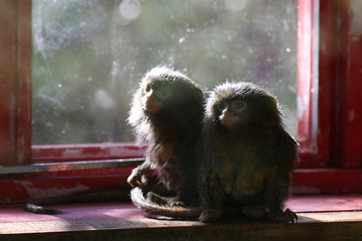 Pygmy Marmoset - Wellington Zoo