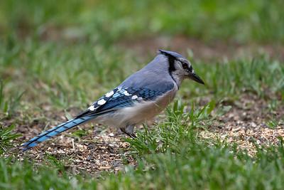 NOBES BIRDS 5-25-20