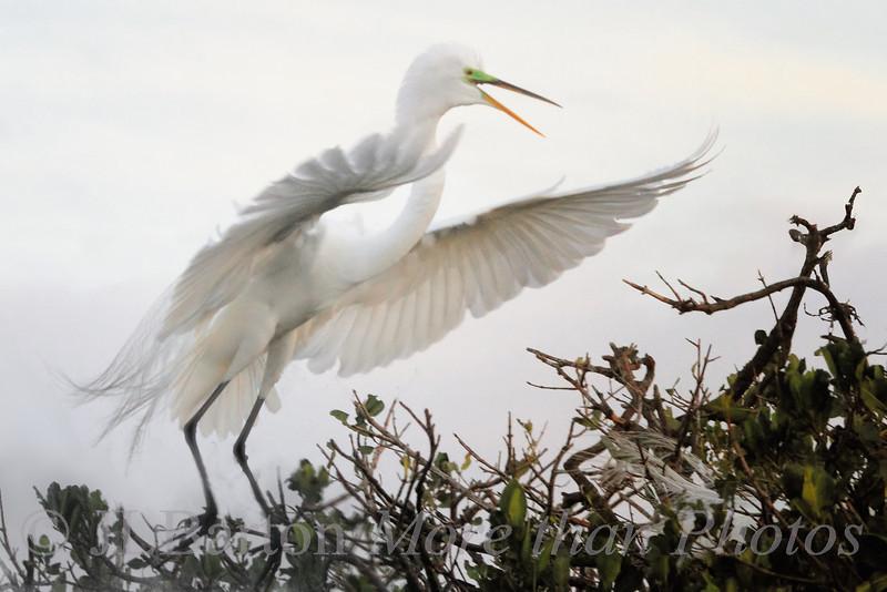Incoming Egret