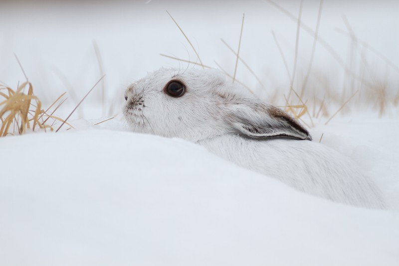 Snowshoe Hare Lepus americanus CR52-Arkola Sax-Zim Bog MN IMG_0002197.jpg