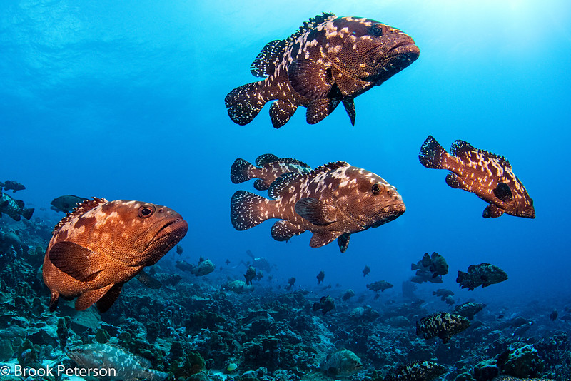 Congregating Grouper