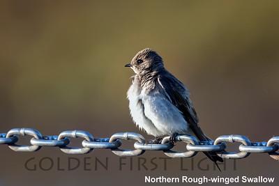 Northern Rough-winged Swallow, Ridgefield Wildlife Refuge, USA