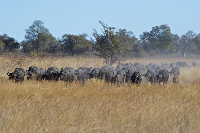 Cape buffalo herd, Kwando Lagoon, Botswana