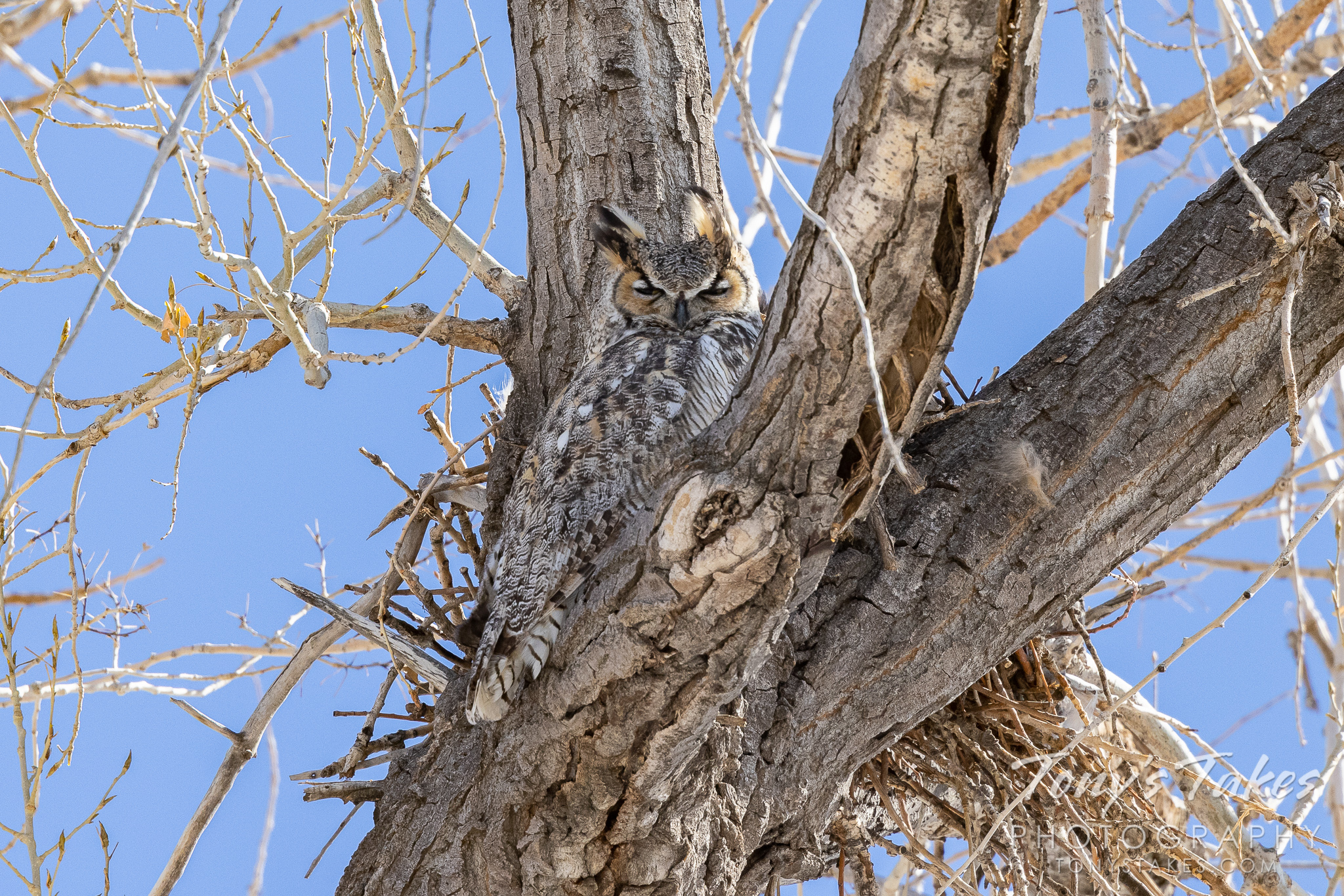 Great horned owl hangs out on high