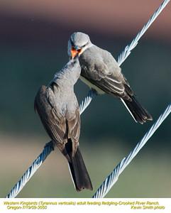 WesternKingbirdsA&J3050.jpg