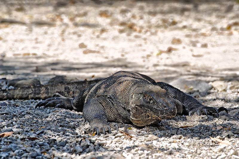 Komodo dragon,  © Luis Courtot