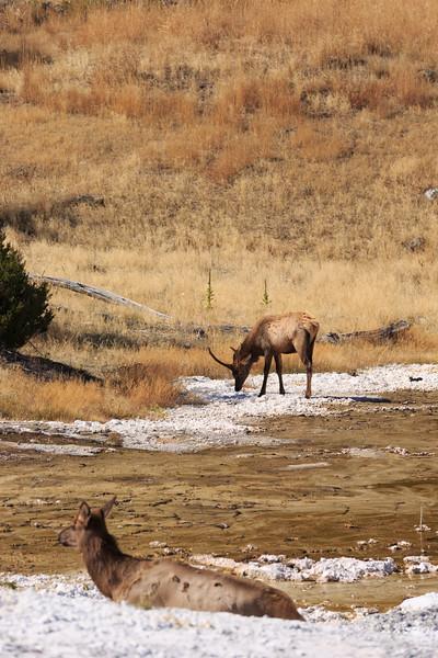 Mammoth Mule Deer 003