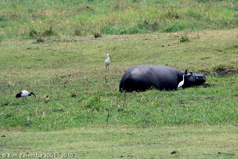 birds working and feeding in the wake of a hippo