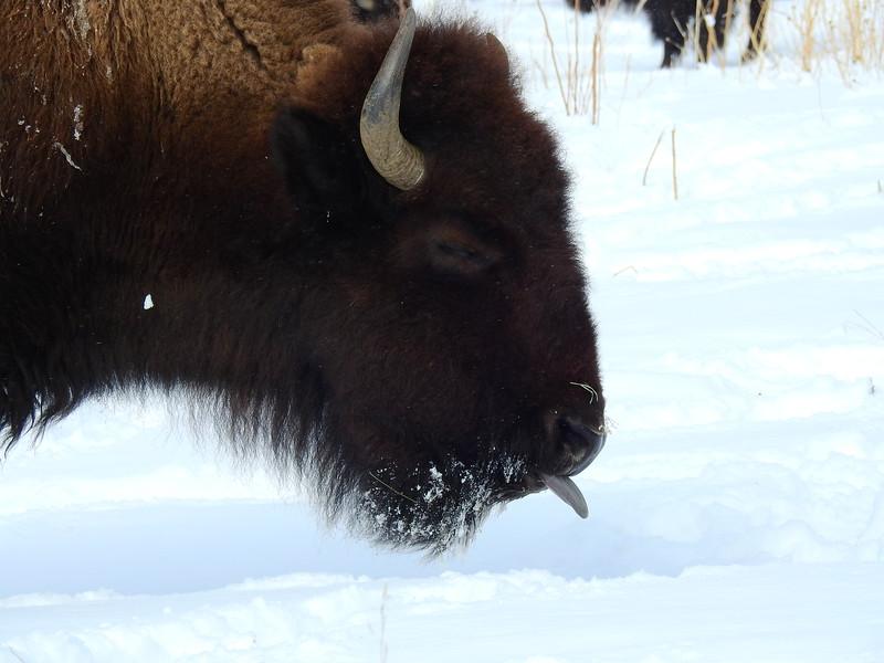 Buffalo (16).JPG