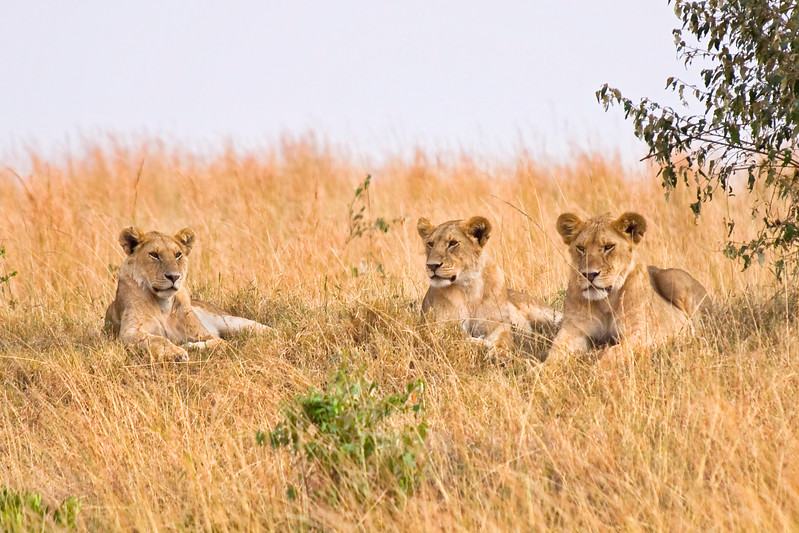 Group of female lions resting on a small hillside. Photography fine art photo prints print photos photograph photographs image images artwork.