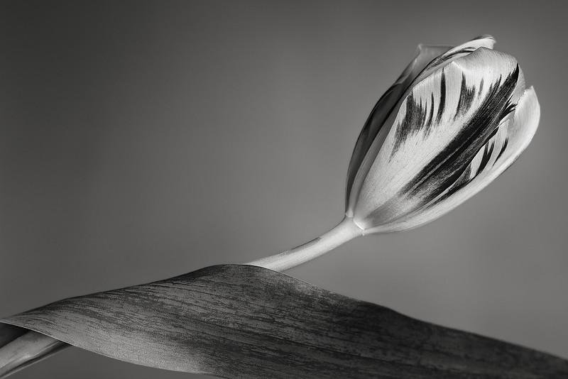 tulip and leaf